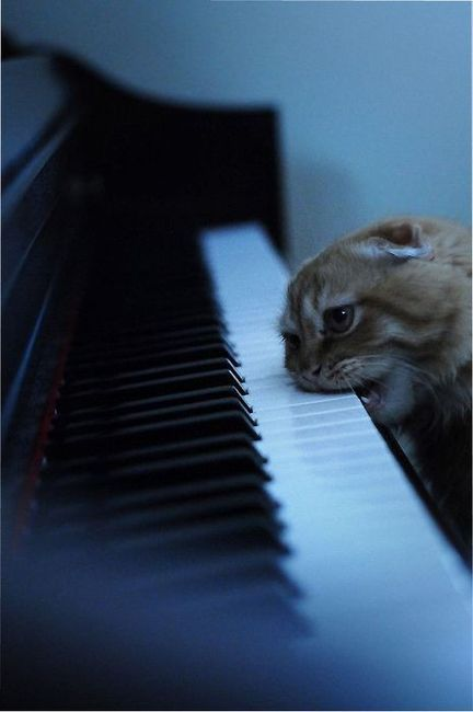 Kitteh is obviously practicing Liszt's Trance And Dental Etudes Kitteh is obviously practicing Liszt's Trance And Dental Etudes